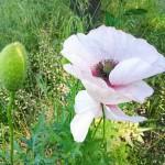 Im Blühen begriffen